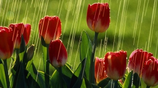 tulips, flower, red, rain, water, field