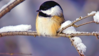 bird, tiny, branch, tree, snow
