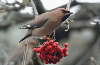 bird, Rowan, beauty, birds of the world, Waxwing