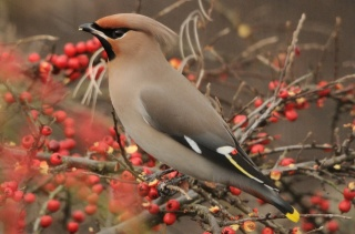 bird, Waxwing, beauty, birds of the world, Rowan
