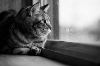 cat, window, view, beauty, black and white