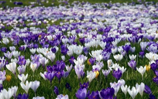 flowers, field, crocuses, beautiful
