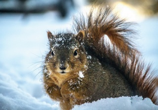 Squirrel, snow, beauty