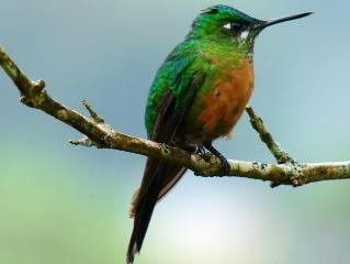 колибри, птица, птицы мира, красота