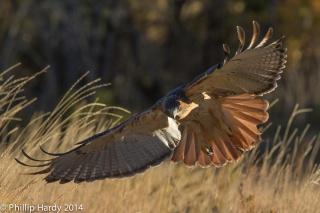 птица, хищник, полёт, природа, трава, парит, крылья
