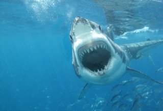 фото, под водой, белая акула, хищник, рыба, красиво