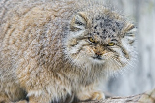 manul, cat, view, evil, fluffy