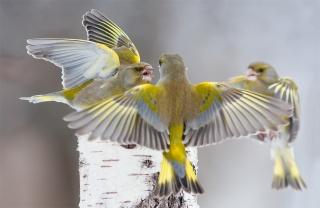 птиця, краса, птахи світу, Зеленушка