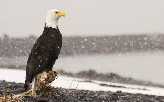 Orel bělohlavý, makro, foto, téma, příroda, zima, sníh, břeh, řeky, kamínky
