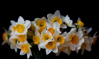 daffodils, black, background, flowers