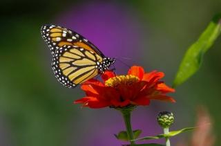 метелик, квітка, краса
