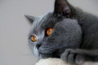 кіт, Британець, краса, очі
