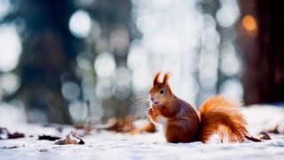 Squirrel, snow, winter