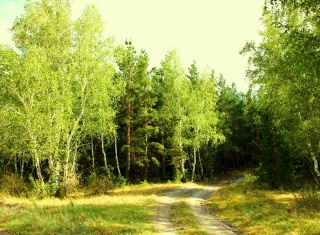 summer, forest, greens, green, green, outer wood, on the edge, Kokshetau, day, road, reserve, trees, birch, forestry, beautiful