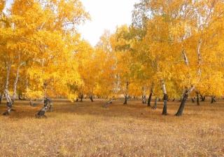 челкар, осінь, береза, листя, дерева, ліс, жовтень, золотий ліс, жовтий, природа