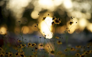 flowers, petals, yellow, vinous, stems, sunset, bokeh