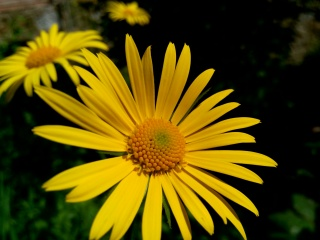 ромашка, жовтий, весна