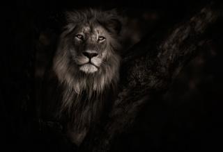Botswana, lion, wildlife