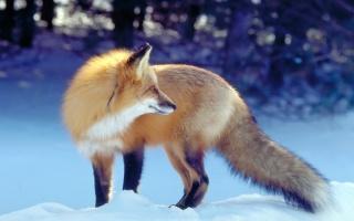 Fox, nature, winter, snow, macro, photo