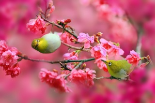 birds, Japanese white eye, Sakura, cherry, flowers, pink, branches