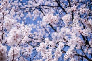 Япония, Мацумото, префектура Нагано, дерево, вишня, сакура, ветки, цветы, цветение, макро, размытость, синее, небо
