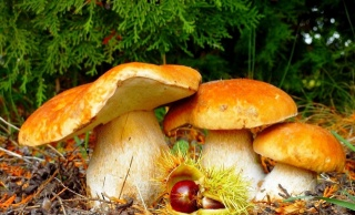mushrooms, chestnut, trees, grass, fallen leaves