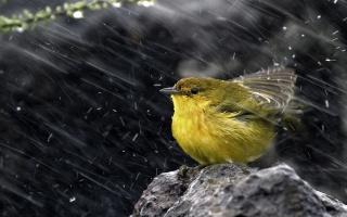 sparrow, yellow, birds, branch, wild