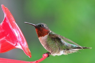 колибри, птица, красота