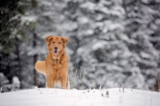собака, макро, фото, зима, снег, позитив