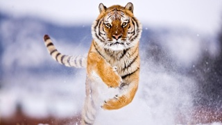 Тигр, Амуре, снег, прыгать, дикий