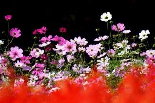 flowers, kosmeya, focus, summer, nature