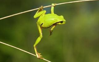 лягушка, зеленый, филиал, дерево, дикий