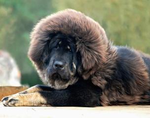 собака, Мастиф, красота, прикольно, весело
