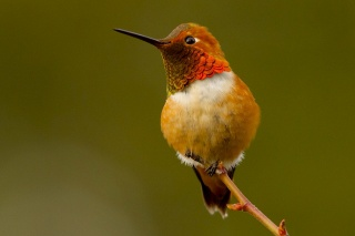 hummingbirds, bird, beauty