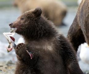 Bear, fishing, beauty