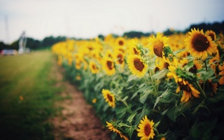 field, nature, summer, sunflowers, macro, photo, theme, Ukraine, beautiful