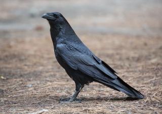 Raven, bird, beauty