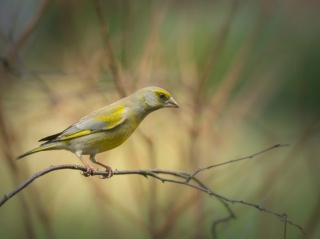 Zvonek zelený, pták, krása