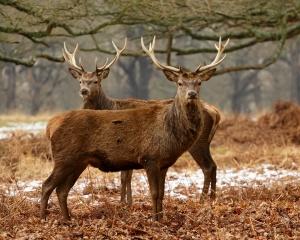 Deer, autumn, beauty