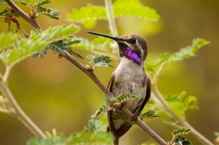 kolibřík, pták, krása