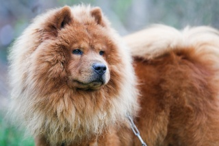 dog, The Chow Chow, beauty