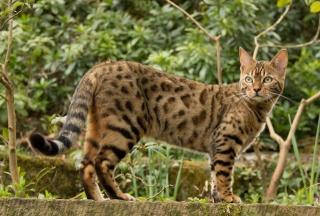 kočka, Бенгальская, krása
