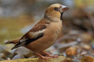 Дубонос, pták, krása