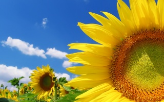 sunflowers, field, the sky, clouds, summer, color, yellow, bright