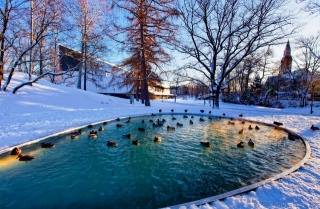 winter, the pond, duck