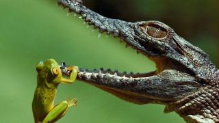 crocodile, frog, wild, savage