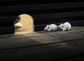 кошка, мыши, охота
