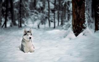 лес, природа, зима, макро, фото, хаски, макро, снег, красиво