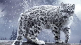 whitw, leopard, mountain, snow, wild