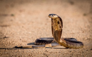 macro, photo, theme, snake, Cobra, predator, dangerous